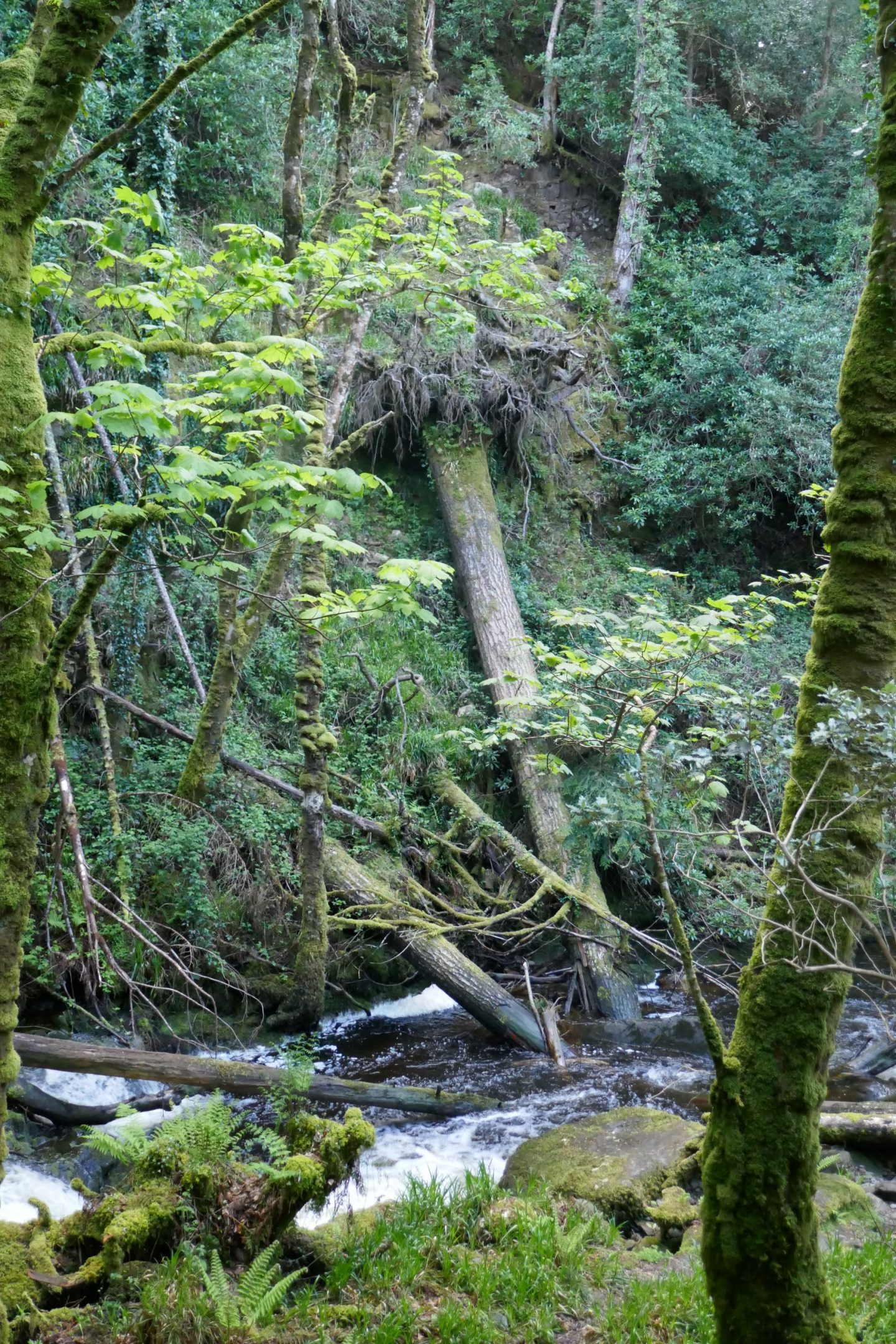 Tree down on the bank of river by Torc Waterfall