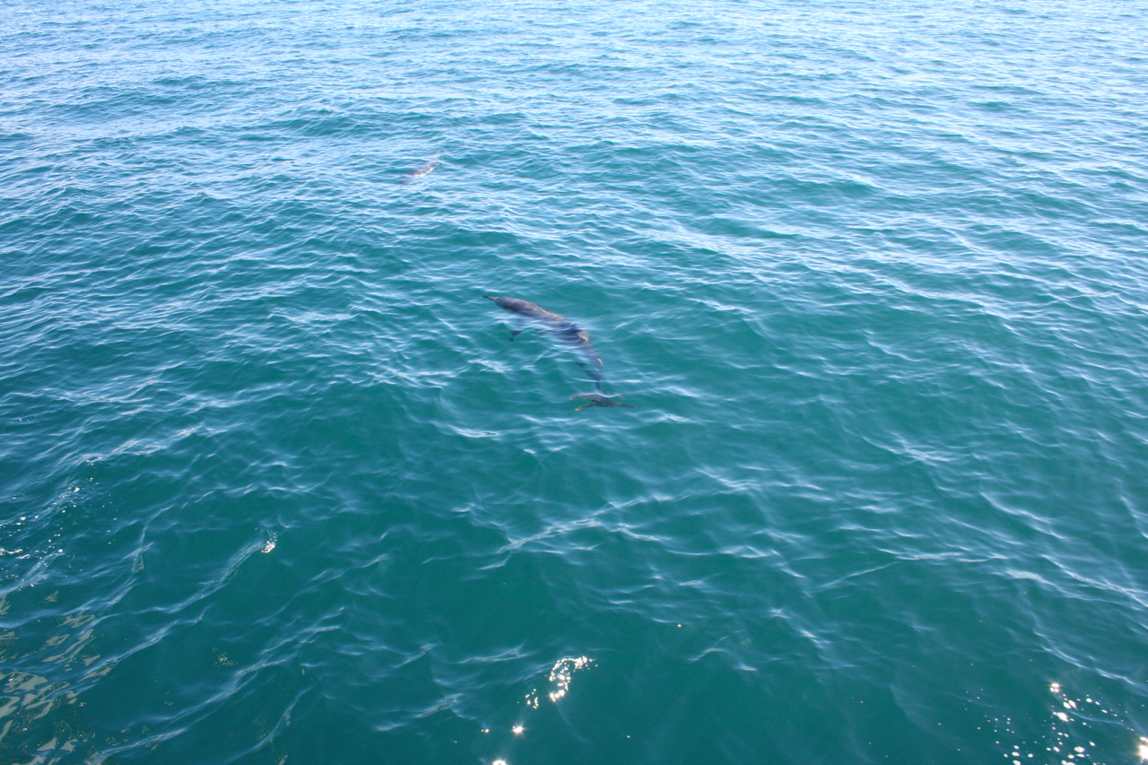 Dolphin swimming in sea