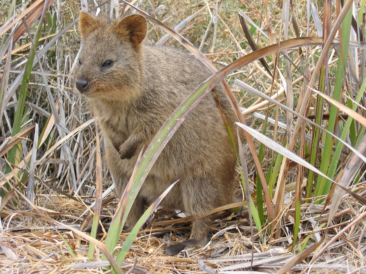 Quokka sitting in grass, Rottnest Island